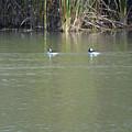 Pair Of Bufflehead Ducks  by Ruth Housley