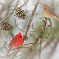 Pair Of Cardinals by Reecie Steadman