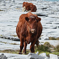 Pair Of Cows Grazing On The Burren In Ireland by DejaVu Designs