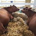 Pair Of Cows by Jeelan Clark