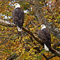 Pair Of Eagles In Autumn by Larry Ricker