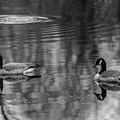 Pair Of Geese, Nisqually National Wildlife Refuge, Washington, 2016 by Steve G Bisig