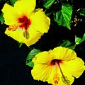 Pair Of Golden Hibiscus In Morning Sun by Tim G Ross