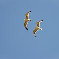 Pair Of Herring Gulls by Bob Phillips