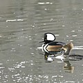 Pair Of Hooded Mergansers by Larry Ricker