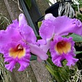 Pretty Purple Orchids by Jeannie Rhode