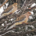 Pair Of Morning Doves by Peg Runyan