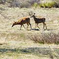 Pair Of Mule Deer Grazing At Chatfield by Steve Krull