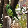 Pair Of Parrots by Robert Rodda