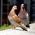 Pair Of Pigeons by Ed Weidman