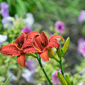 Pair Of Red Asiatic Lilies After A Rain by Wendell Clendennen