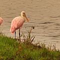 Pair Of Roseate Spoonbills by Theo O'Connor
