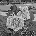 Pair Of Roses In Grayscale by Marian Bell