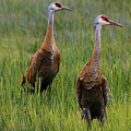 Pair Of Sandhill Cranes by Amber D Hathaway Photography