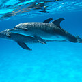 Pair Of Spotted Dolphins by Ed Robinson - Printscapes
