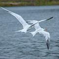 Pair Of Terns by Craig Colbert