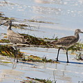 Pair Of Willets by Barbara Bowen