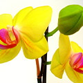 Pair Of Yellow Orchids by Beth Akerman