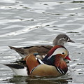 Paired Wood-ducks by Shontell Cupler