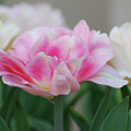 Pale Pink And White Parrot Tulips In A Garden by DejaVu Designs