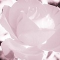 Pale Pink And White Rose by Debra Lynch