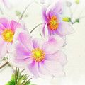 Pale Pink Anemone by Jim And Emily Bush