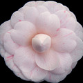 Pale Pink Camelia by Julia Hiebaum