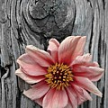 Pale Pink Flower On Wood by Patricia Strand
