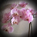 Pale Pink Orchids B W And Pink by Joyce Dickens