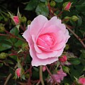Pale Pink Rose Oregon Coast by Mountain Femme