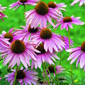 Pale Purple Coneflowers by Marty Koch