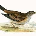 Pale Thrush by English School