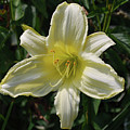 Pale Yellow Flowering Lily Blossom In A Garden by DejaVu Designs