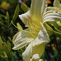 Pale Yellow Lily In A Garden Of Daylilies by DejaVu Designs