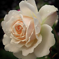 Pale Yellow Rose After The Rain - Glow by Philip Openshaw