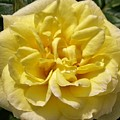 Pale Yellow Rose by Richard Brookes