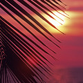 Palm At Sunset by Carl Shaneff - Printscapes