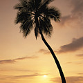 Palm At Sunset by Greg Vaughn - Printscapes