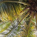 Palm Collection - Coconuts Are Fine by Victor K