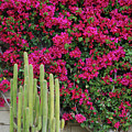 Palm Desert Blooms by Carol  Eliassen