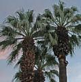 Palm Desert Palms  by Carol  Eliassen