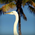 Palm Egret by Karen Wiles