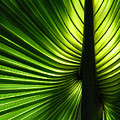 Palm Frond by Francesa Miller