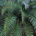 Palm Fronds by Kristin Elmquist