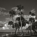 Palm Group In Florida Bw by Susanne Van Hulst