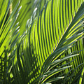 Palm Leaf by Phil Crean