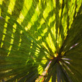 Palm Leaves And Morning Light by Jonathan Nguyen