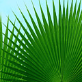 Palm Leaves by Susan Wall