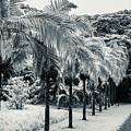 Palm Path Kauai by Blake Webster