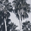 Palm Springs Palm Trees- Art By Linda Woods by Linda Woods